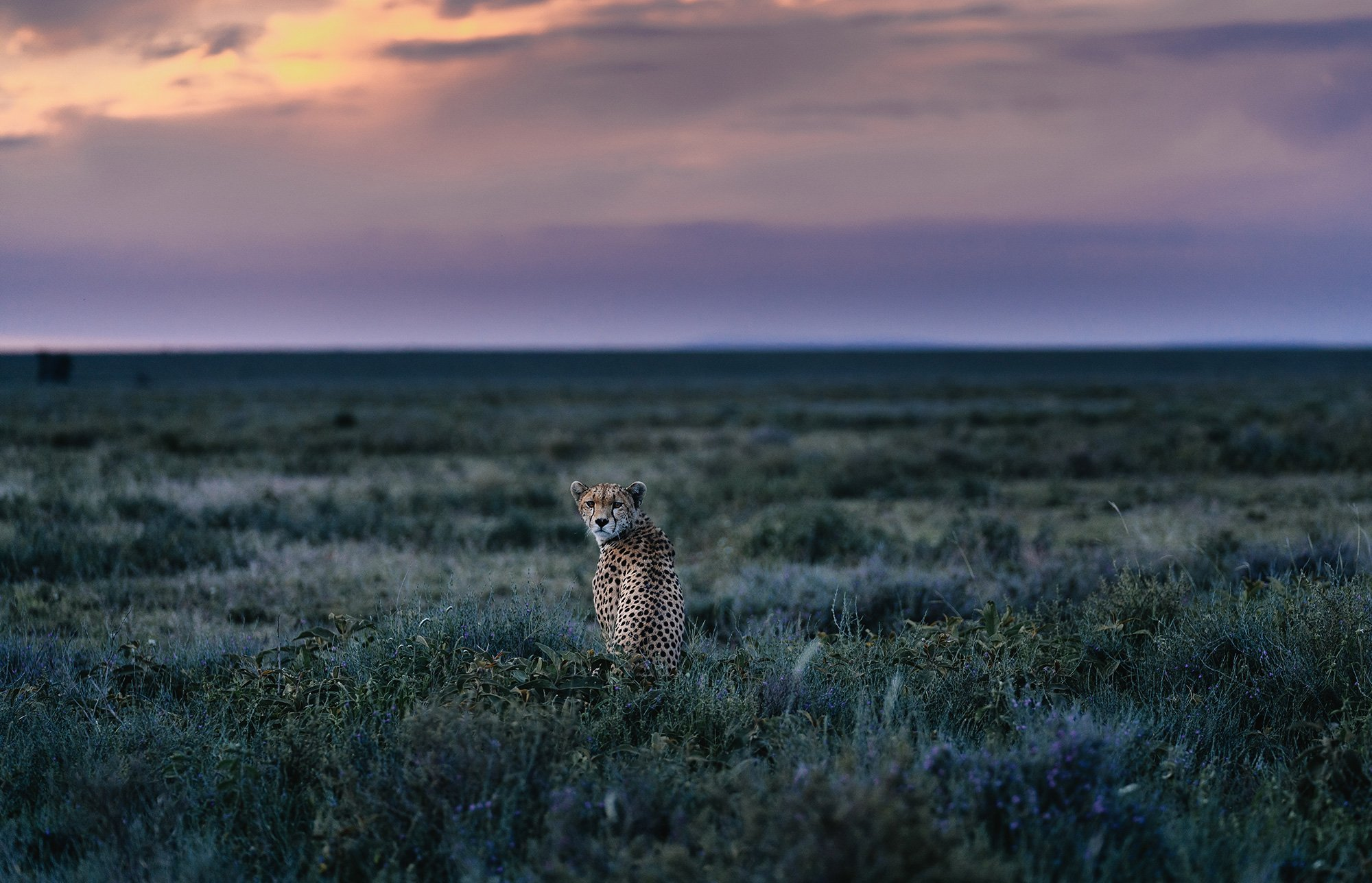 chris-schmid-sony-alpha-7RII-lone-cheetah-stares-back-at-the-camera-1
